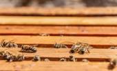 Bees on honeycomb frames — Stock fotografie