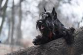 Schnauzer dog breed in the leaves in fall — Stockfoto