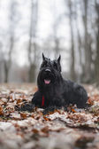 Schnauzer dog breed in the leaves in fall — Stock Photo