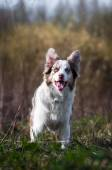 Happy merle border collie in summer — Stock Photo
