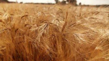 Wheat Field — Vídeo de Stock