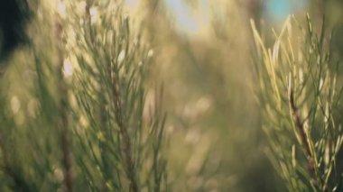 Closeup of pine tree — Stock Video