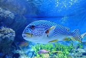 Sweetlips fish underwater — Стоковое фото