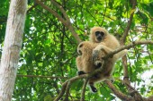 Mom and baby of white-handed gibbon sitting on the tree — Stock fotografie