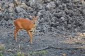 Red Muntjac in the forest — Stock Photo