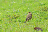 A Indochinese Bushlark on the field — Stock Photo
