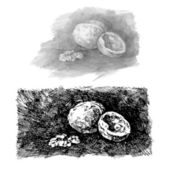 Walnut. Illustration. — Stock Vector