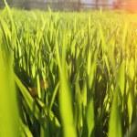 Green grass under rays of sun. Closeup, shallow DOF. — Stock Photo #69827087