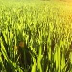 Green grass under rays of sun. Closeup, shallow DOF. — Stock Photo #69827107