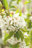 Cherry tree branch in bloom toned photo selective focus — Stock Photo