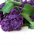 Lilac branch dark color close-up — Stock Photo