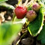 Closeup of fresh organic strawberries — Stock Photo #75532019