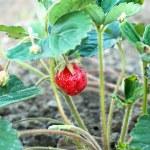 Closeup of fresh organic strawberries — Stock Photo #75532081