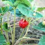 Closeup of fresh organic strawberries — Stock Photo #75532153