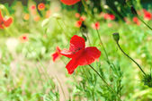 Poppy bereich — Stockfoto