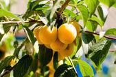 Ripe yellow plum on a branch — Stock Photo