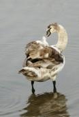 Kleiner schwan — Stockfoto