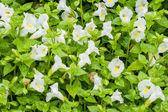 Fleur torenia ou wishbone — Photo