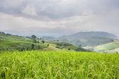 Terraço de campo de arroz verde bonito com nuvem de chuva e montanha. — Fotografia Stock