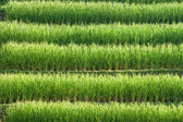 Rice field pattern. — Stock Photo