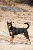 Thajské pes. — Stock fotografie