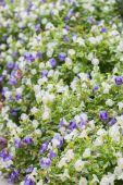 Torenia veya wishbone çiçek. — Stok fotoğraf