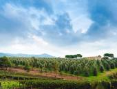 Idyllic Tuscan rural  landscape  with olives trees, Vall dOrcia Italy, Europe. Olive trees in a row. Plantation and cloudy sky — Stock Photo