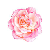 Pink Rose Flower — Stock Photo