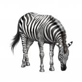 Zebra bent down eating grass — Stock Photo