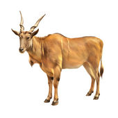 Common eland — Stock Photo