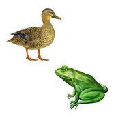 Female mallard duck and green frog — Stock Photo