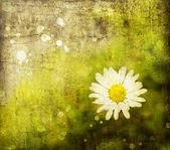 Chamomile flower — Stock Photo
