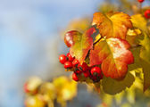 Red berries and yellow leaves — Stock Photo