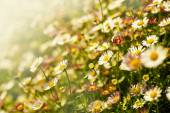 Chamomile flowers in field — Foto de Stock
