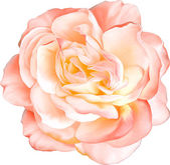 Beautiful light orange red Rose Flower isolated on white background. Vector illustration — Stock Vector
