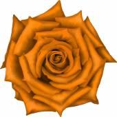 Orange Rose Flower isolated on white background. Vector illustration — Stock Vector