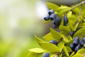 Juicy Blueberries Ripening — Stock Photo