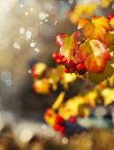 Yellow leaves and red berries — ストック写真