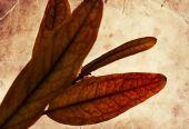 Yellow pomegranate leaves — Stock Photo