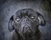 Funny pug dog — Stockfoto