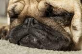 Funny pug dog — Stock Photo