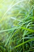 Fresh thick grass — Stock Photo