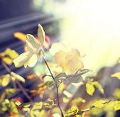 Beautiful roses — 图库照片