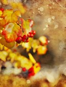 Yellow leaves and red berries — Stock Photo