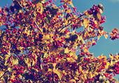 Red berries on autumn tree — ストック写真