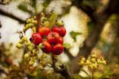 Shrub with red berries — Stock Photo