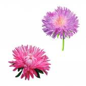 Thistle flowers, Pink Daisy — Stock Photo