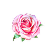 Pink little Rose Flower isolated on white background — Stock Photo