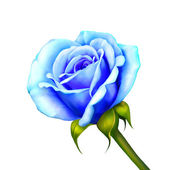 Blue Rose Flower isolated on white background — Foto Stock