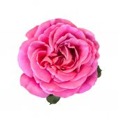 Pink Rose Flower isolated on white background. illustration — Φωτογραφία Αρχείου
